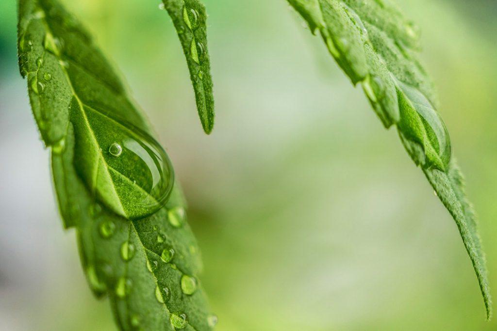 Cannabis leaf water drop CBD oil